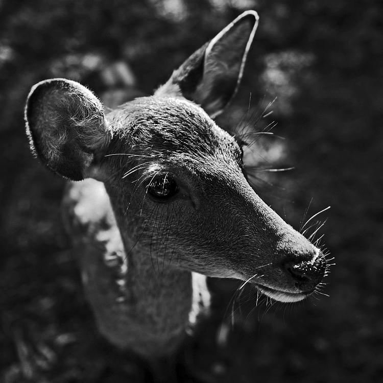 D800_deer_01.jpg