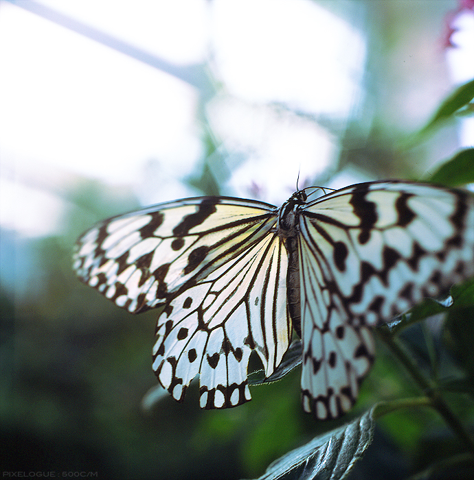 hassel_butterfly_11.jpg